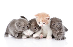 Five british shorthair kittens.  on white background Royalty Free Stock Image