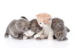 Five british shorthair kittens.  on white background Royalty Free Stock Photo