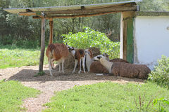 Five brown lamas grazing on pasture in zoo. Royalty Free Stock Image