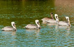 Five brown pelicans swimming in a tropical marina royalty free stock photography