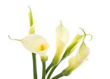 Five calla lilies Royalty Free Stock Images