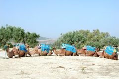 Five camels Stock Image