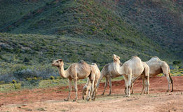 Five camels Stock Images