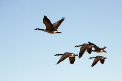 Five Canada Geese flying. Five Canada Geese taking off Stock Images
