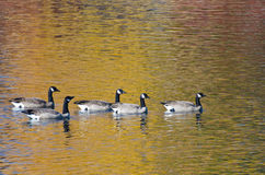 Five Canada Geese Swimming on Golden Water Royalty Free Stock Photos