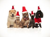 Five cats and dogs of diferent breeds wearing santa hats. Five cats and dogs of different breeds wearing santa hats sitting on white background while panting royalty free stock images