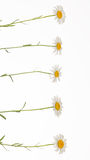 Five chamomile on thin stems Royalty Free Stock Photography