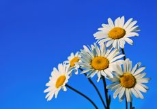 Five chamomiles on blue. Five chamomiles against blue sky Royalty Free Stock Images
