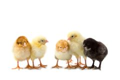 Five chickens Royalty Free Stock Image