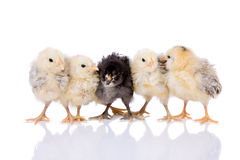 Five chicks in a row Stock Photography