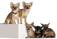 Five Chihuahuas, 1 year old Stock Images