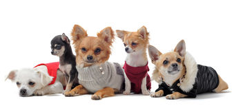 Five chihuahuas Royalty Free Stock Photo