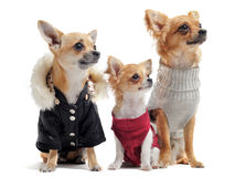 Five chihuahuas Stock Photography