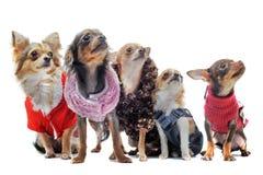 Five chihuahuas Stock Photo