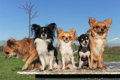 Five chihuahuas Royalty Free Stock Images