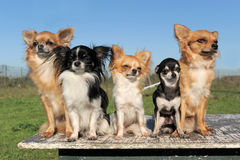 Five chihuahuas Stock Image