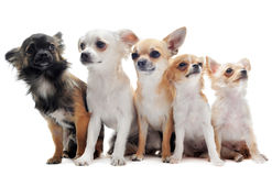 Five chihuahuas stock photos