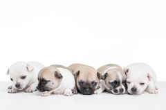 Five chihuahuas Stock Photo