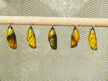Five chrysalises Royalty Free Stock Image