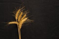 Five cirn grain spike on background texture - Triticum durum Stock Images