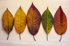 Colorful five leaves, branches on wooden background. Flat lay, top view. Autumn still life royalty free stock photos