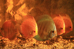 Five colorful discus Stock Photo