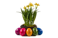 Easter eggs and daffodils Royalty Free Stock Image
