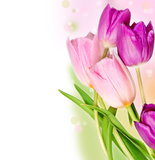 Five colorful tulips Stock Images