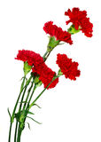 Five colors of carnation Royalty Free Stock Photography