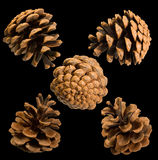 Five cones of Crimean pine (Pinus pallasiana) Royalty Free Stock Photo