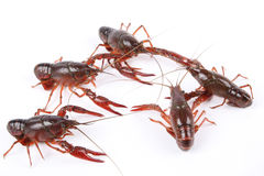 Five crawfish Stock Images