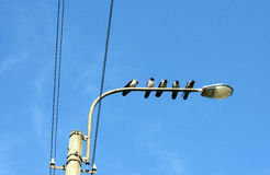 Five crows look in one direction. Birds sitting on a streetlamp Royalty Free Stock Photo