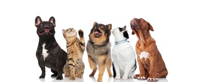 Five curious pets look up on white background stock photography