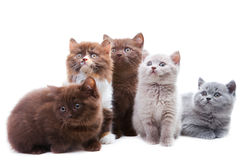 Five cute brititsh kittens Stock Photos