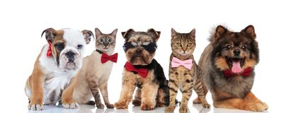 Five cute cats and dogs wearing bowties and sunglasses royalty free stock photo