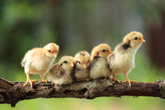 Five of cute chicks Stock Photos