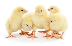 Five cute chicks. Royalty Free Stock Photo