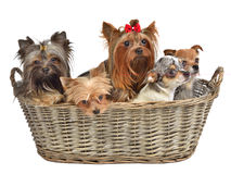 Five cute dogs in a basket Royalty Free Stock Photo
