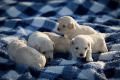 Cute little puppies playing on a blue and white blanket. Five cute little puppies playing and resting on a blue and white checkered blanket stock photos