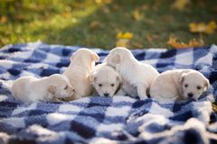 Cute little tan puppies playing on a blue and white checkered blanket. Five cute little tan puppies playing on a blue and white checkered blanket outside in the stock photos