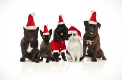 Five cute santa cats and dogs sitting and panting. Five cute santa cats and dogs of different breeds sitting on white background and panting stock image