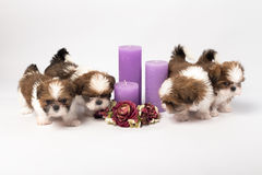 Five cute shih-tzu puppies with holliday candles. Isolated on the white background Royalty Free Stock Photography