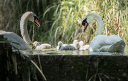Five cygnets swimming with adult swans keeping watch at lock edge Royalty Free Stock Photos