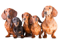 Five Dachshund Dogs sitting on white Royalty Free Stock Photography