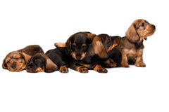Five Dachshund puppies Stock Photography