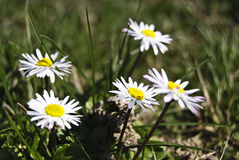 Five daisies on green grass Royalty Free Stock Photo