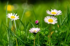 Five daisies in the meadow royalty free stock images