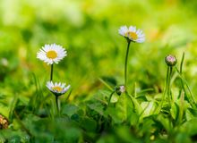 Five daisies in the meadow royalty free stock image