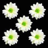 Five Daisy Flowers Royalty Free Stock Image