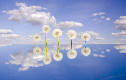 Five  dandelion clocks on mirror and sky Stock Images